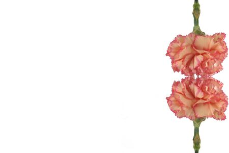 Beautiful carnation border photo