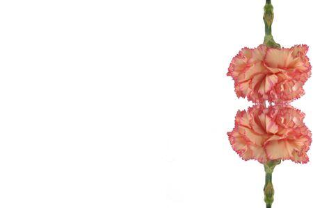 Beautiful carnation border photo