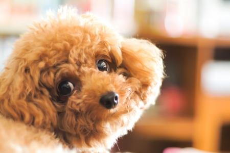 Perro caniche Foto de archivo