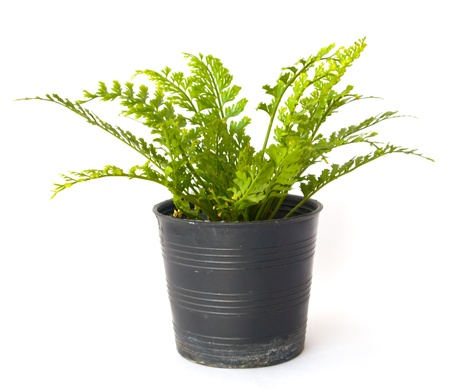 Fern in pot photo