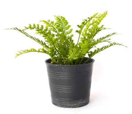 Fern in pot Stock Photo - 19091002
