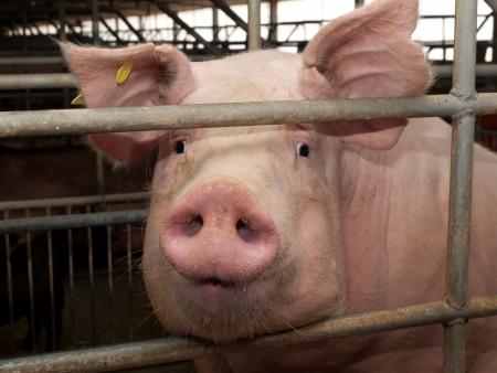 Pig in pigsty