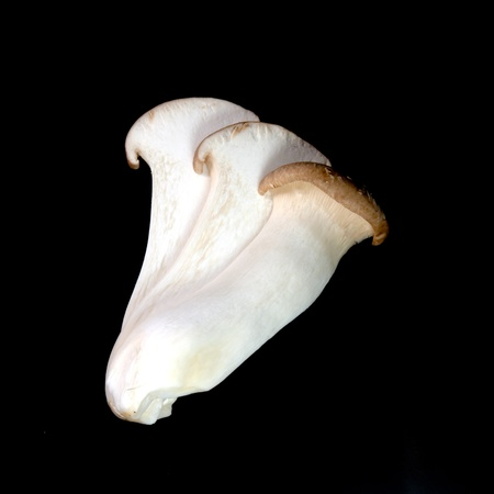 king oyster mushrooms  pleurotus eryngii  photo