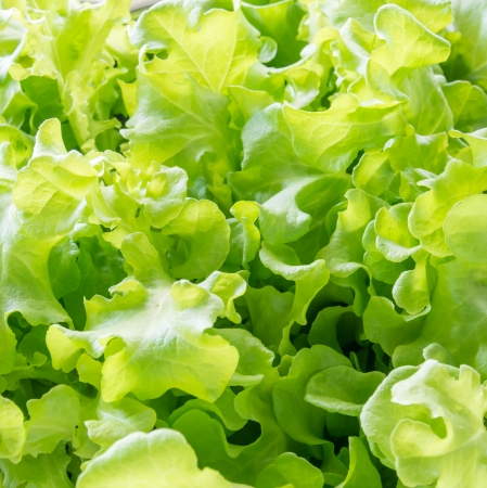 Close up of Green Oak salad leaves  Stock Photo