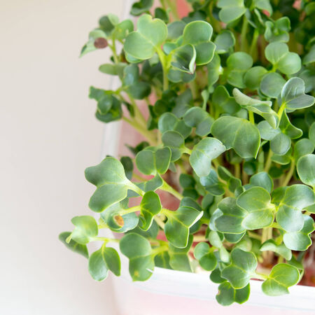 close up organic kaiware, japanese vegetable or watercress photo