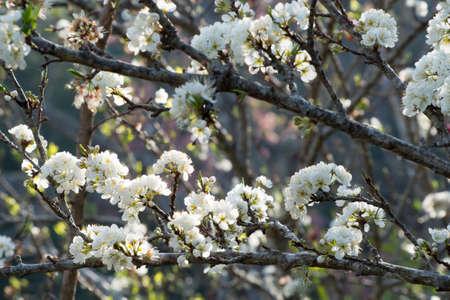 asian gardening: White oriental cherry Stock Photo