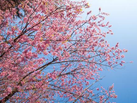 Wild himalayan cherry flower blossom