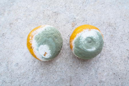 moldy oranges Stock Photo - 26226659