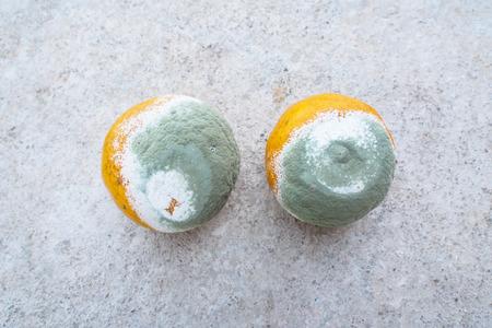 moldy oranges Stock Photo - 26226659