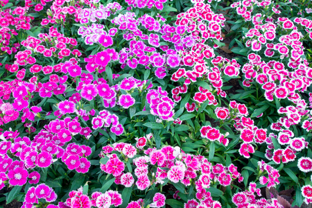 ground cover: dianthus barbatus for ground cover Stock Photo