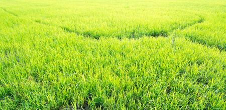 Green Rice adosada Campo