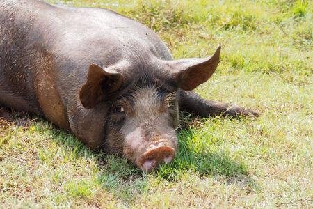 landrace: cerdos en la granja