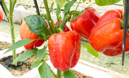 fresh bell peppers, paprika photo