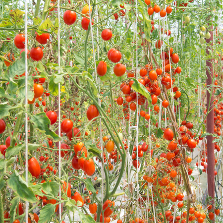 Cherry tomatoes in a garden photo