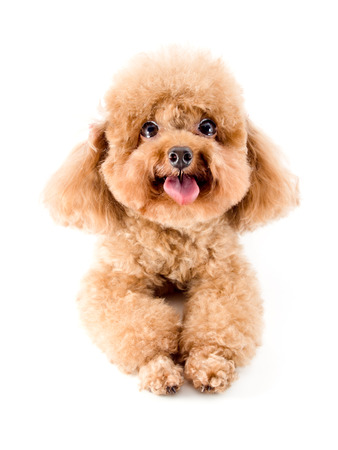 Red Toy Poodle puppy photo