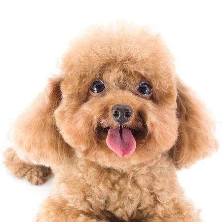 Perrito rojo Toy Poodle
