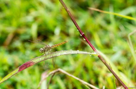 dragonfly outdoor (coleopteres splendens)