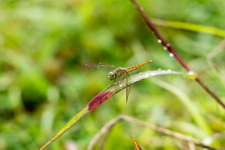 splendens: dragonfly outdoor (coleopteres splendens)