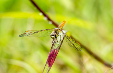 arthropod: dragonfly outdoor (coleopteres splendens)