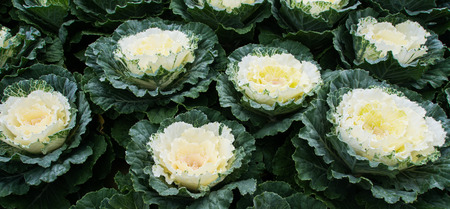 beautiful fall decorating with flowering cabbage