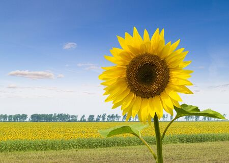 Lonely sunflower on a background of a field with sunflowers Stock Photo - 5304302
