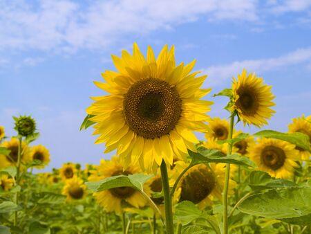 Feld mit Sonnenblumen auf einem Hintergrund des blauen Himmels