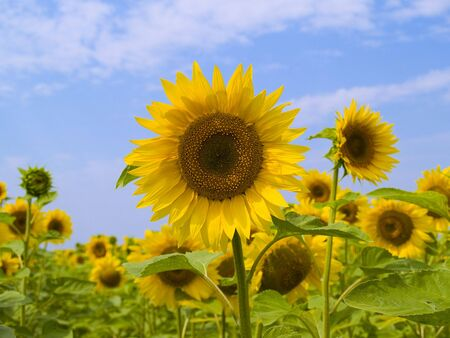 Field with sunflowers on a background of the blue sky Stock Photo