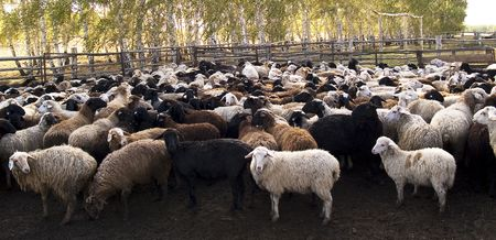 Herd of the ewes behind fence on a farm photo