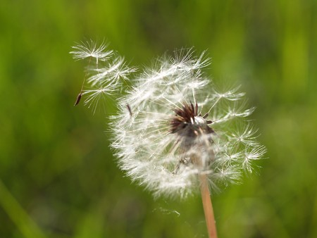 Dandelion disseminates seeds on a wind  Stock Photo
