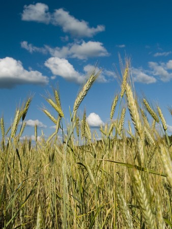 Growing winter wheat on a field on a background of the light-blue sky