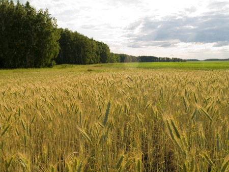 beardless: Golden wheat on a field on a background of the sky Stock Photo