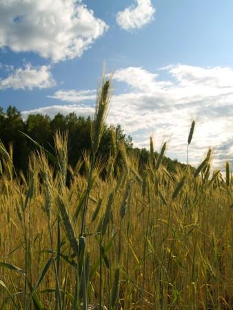 beardless: Growing winter wheat on a field, close up Stock Photo