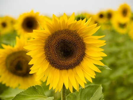 Sunflower close up on a background others sunflowers Stock Photo - 7765400