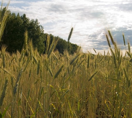 beardless: Growing winter wheat on a field on a background of the sky