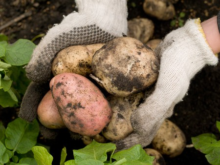 freshly potatoes in the hands of a man