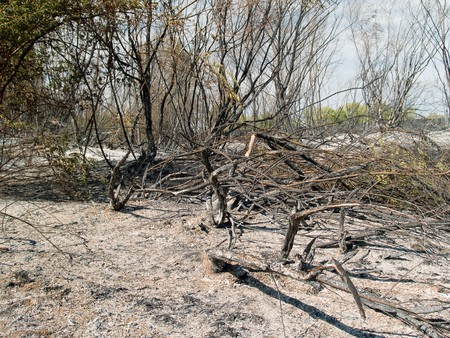 charred trunks of trees after fire