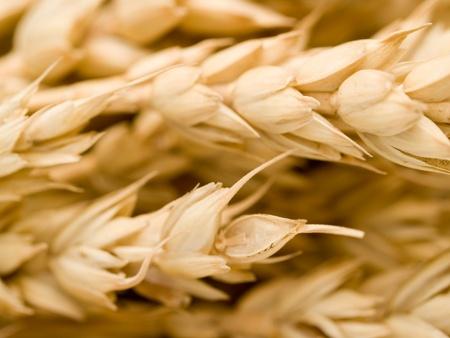 ripe golden wheat closeup Stock Photo