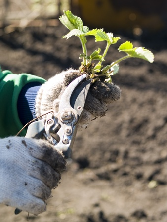 hands in dirty gloves caring the strawberry plants at the kitchen garden Stock Photo