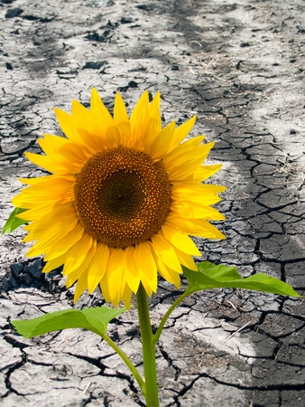 bright sunflowers on a background of cracked soil