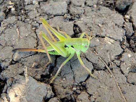 Large single grasshopper on the dry cracked ground Stock Photo