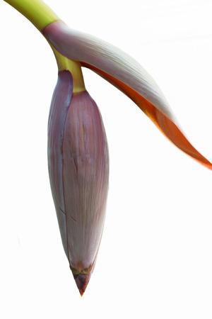 kerala culture: banana flower blossom with little bananas.