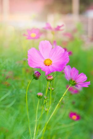 Pink cosmost flower in garden
