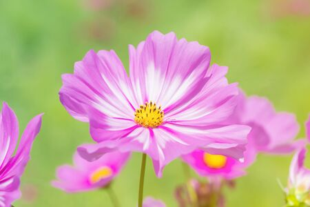 colorful cosmos flower in the garden