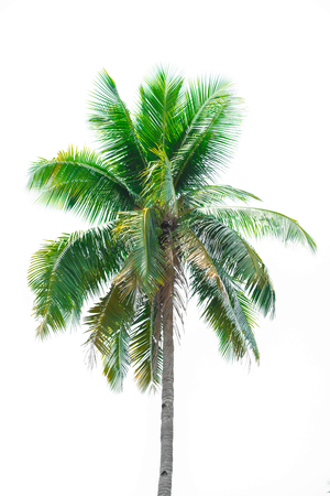 one coconut palm tree isolated on white background