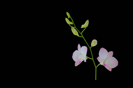 Beautiful purple orchid isolated on black background.