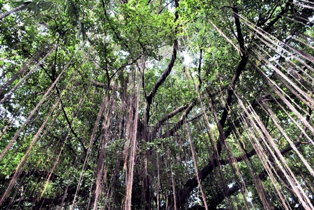 branch of a banyan tree photo