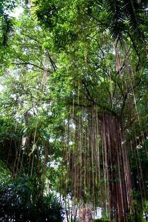 banyan tree: The roots of the banyan tree to the ground long