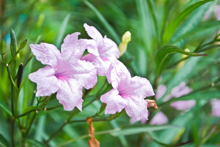 Purple flowers bloom in the morning. (Ruellia tuberosa Linn. Waterkanon, Watrakanu, Minnieroot, Iron root, Feverroot, Popping pod, Trai-no, Toi ting) photo