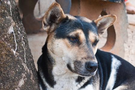 Thai Stray Dog photo