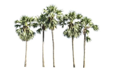 sugar palm: Asian Palmyra palm, Toddy palm, Sugar palm, Cambodian palm, palm trees isolated on a white background
